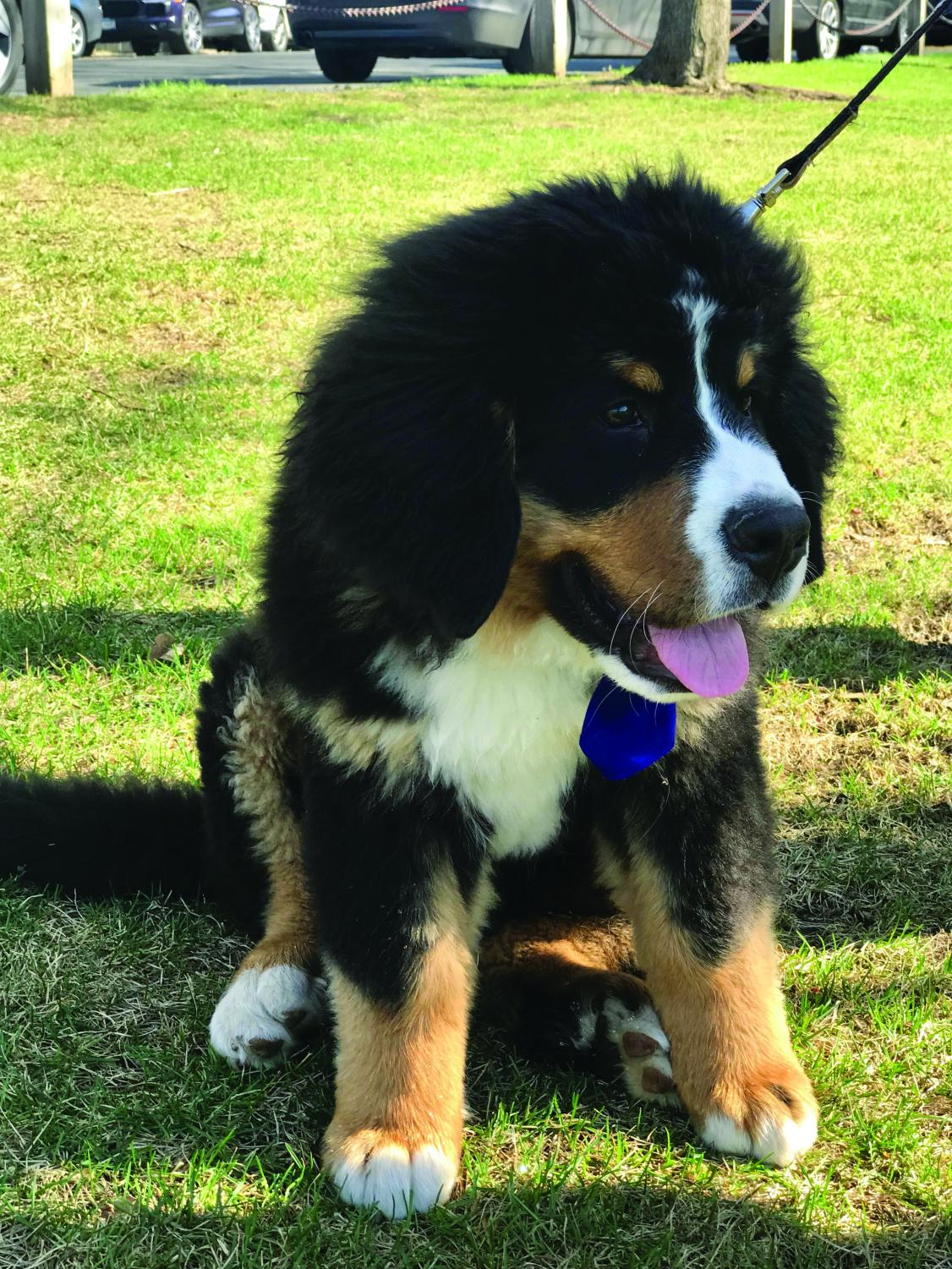 Even on the hottest days, Joe Mairs '20's Bernese Mountain Dog Gary is a staple at boys' tennis matches.