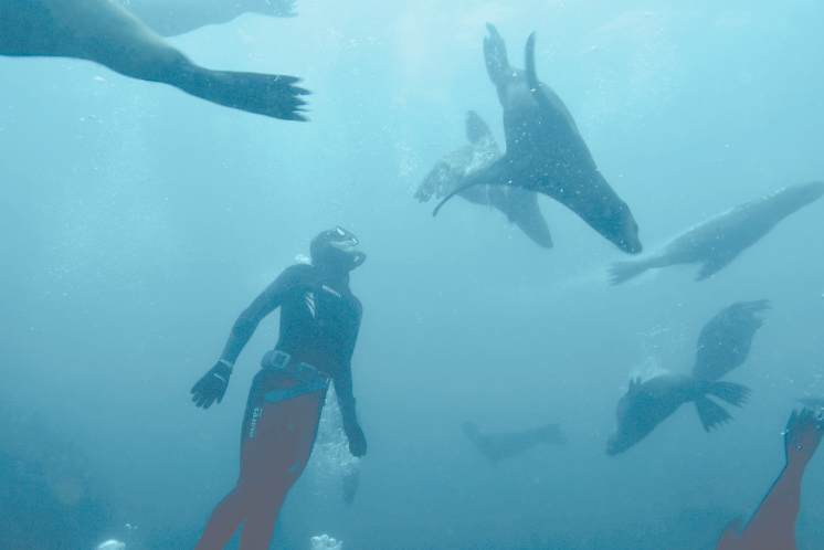 Markusen freedives with a pinniped of seals